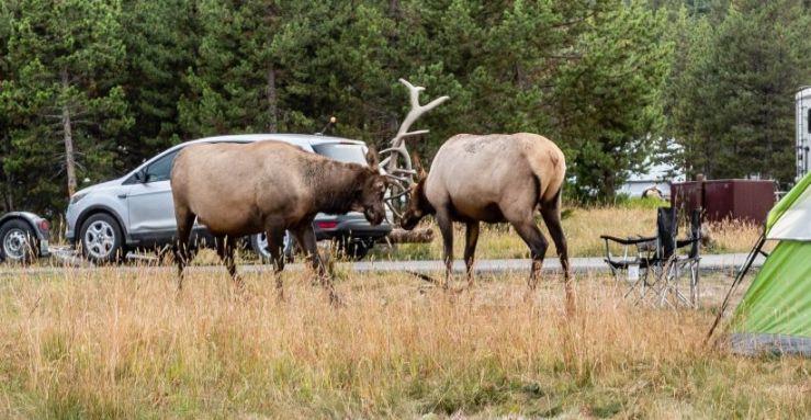 Elk fight M